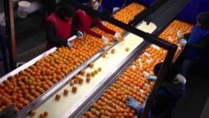 Fruit Grading